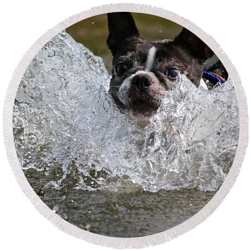 Boston Terrier Round Beach Towel featuring the photograph Splashdown by Susan Herber