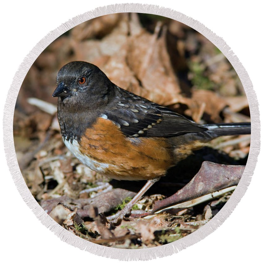 Spotted Towhee Round Beach Towel featuring the photograph Spotted Towhee by Randall Ingalls