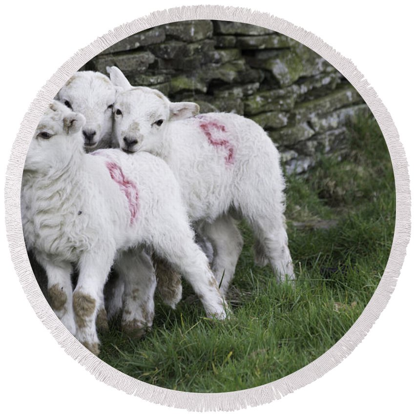 Lamb Round Beach Towel featuring the photograph Spring Lambs 2 by Steve Purnell