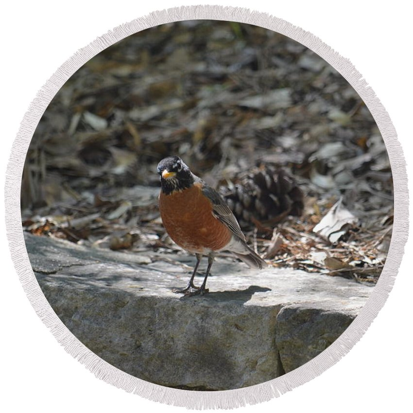 Spring Robin Round Beach Towel featuring the photograph Spring Robin by Maria Urso