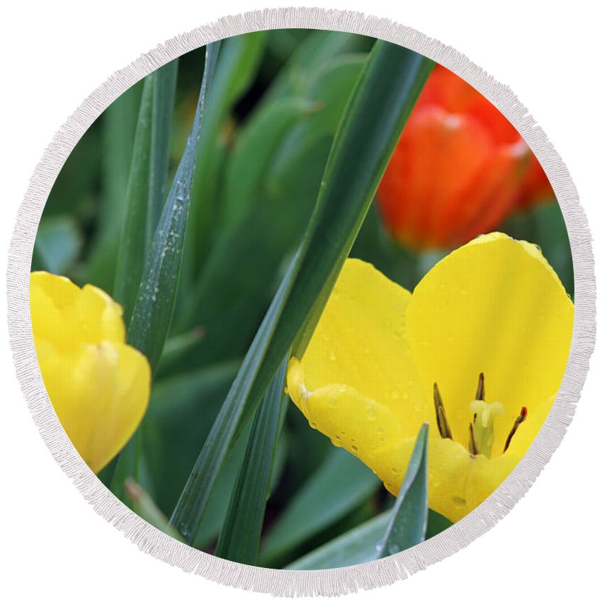 Tulip Round Beach Towel featuring the photograph Spring Tulips 144 by Pamela Critchlow