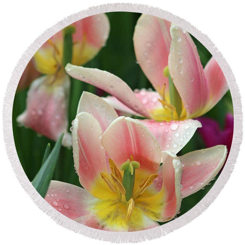 Tulip Round Beach Towel featuring the photograph Spring Tulips 151 by Pamela Critchlow