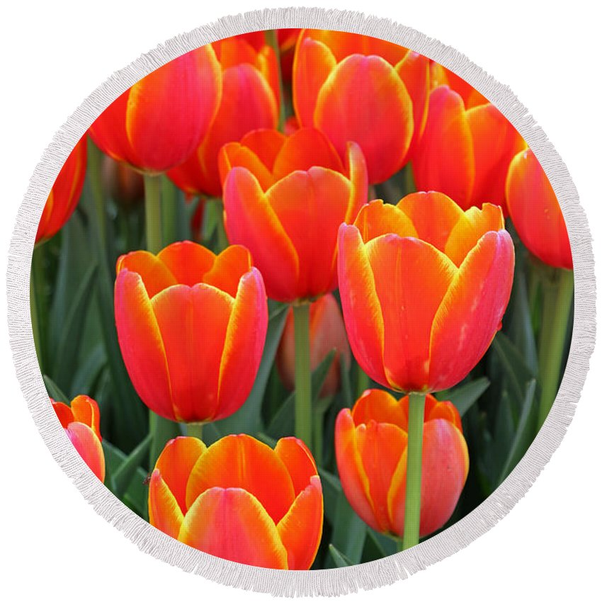 Tulip Round Beach Towel featuring the photograph Spring Tulips 210 by Pamela Critchlow