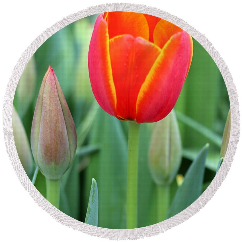 Tulip Round Beach Towel featuring the photograph Spring Tulips 211 by Pamela Critchlow