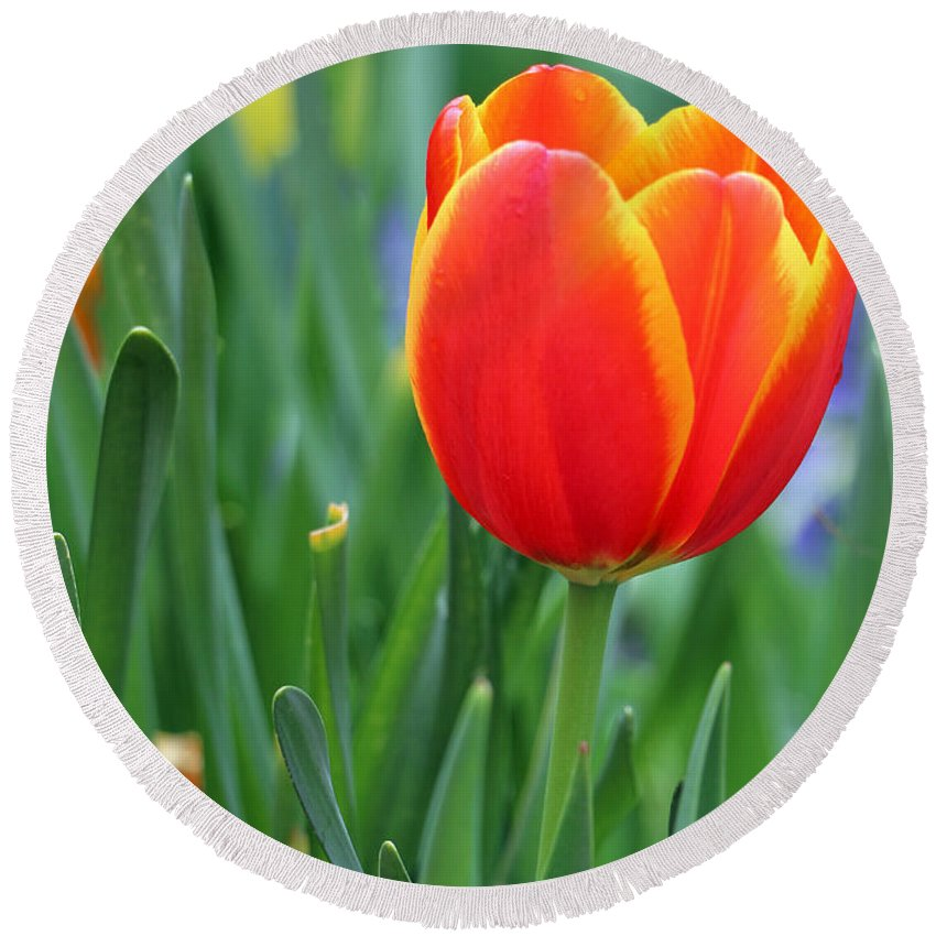 Tulip Round Beach Towel featuring the photograph Spring Tulips 214 by Pamela Critchlow
