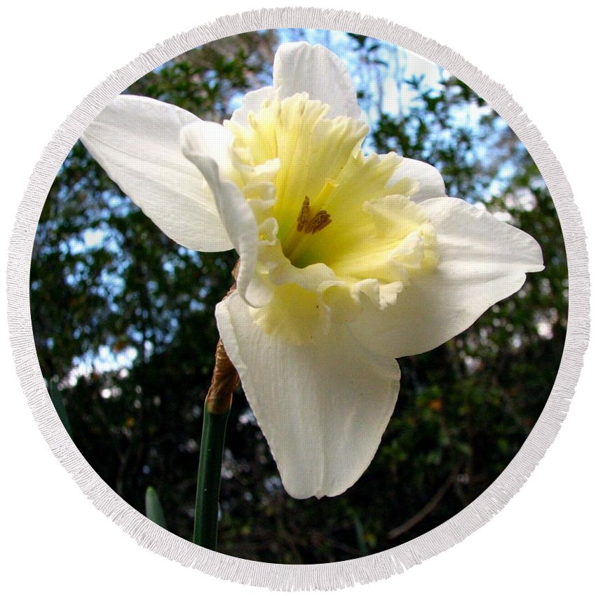 Daffodil Round Beach Towel featuring the photograph Spring's First Daffodil 3 by J M Farris Photography
