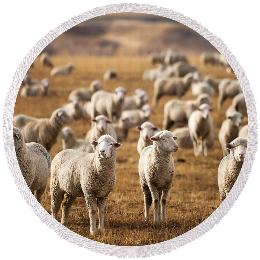 Flock Of Sheep Round Beach Towels