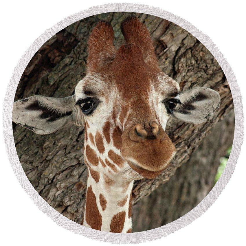 Giraffe Round Beach Towel featuring the photograph Standing Tall by Douglas Barnard