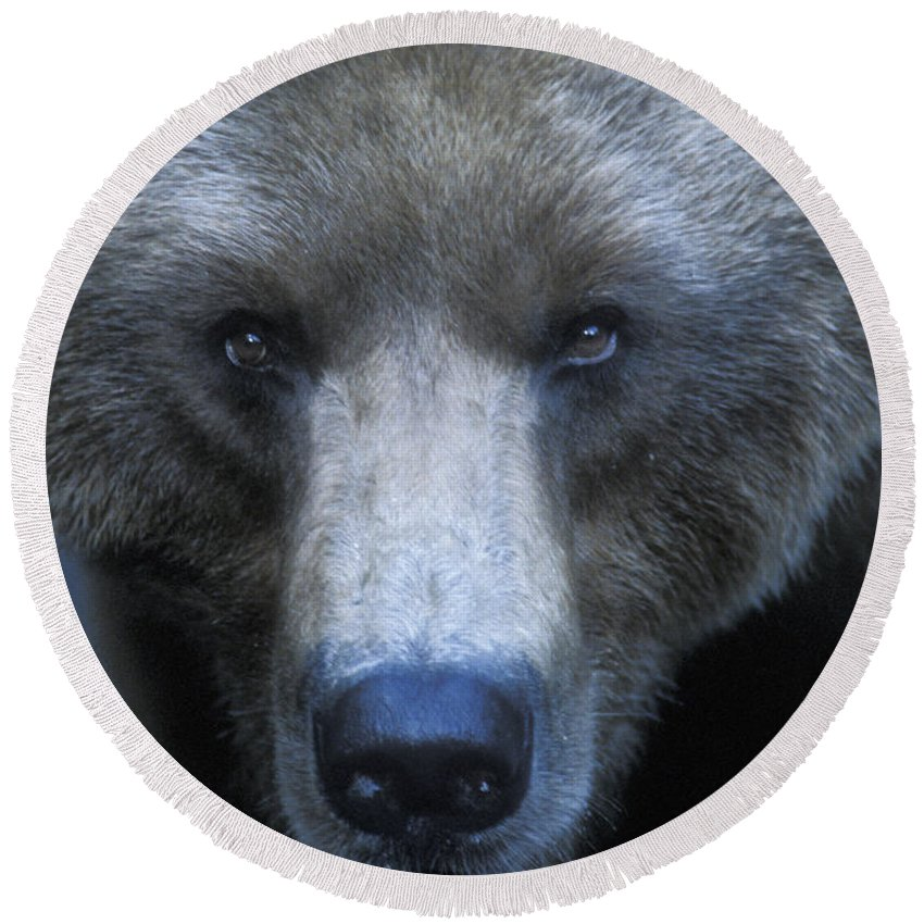 Yellowstone Round Beach Towel featuring the photograph Stare Down by Sandra Bronstein