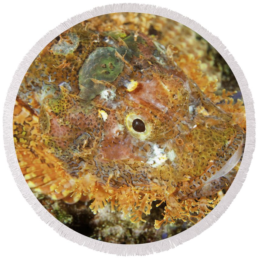 Animal Round Beach Towel featuring the photograph Stonefish by Anthony Totah