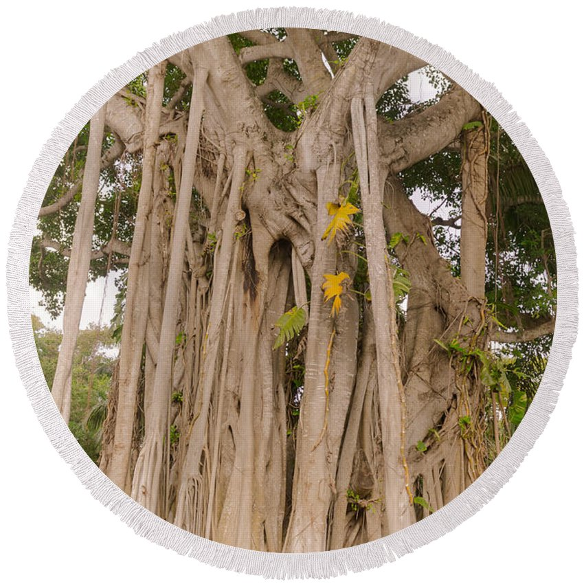 Florida Round Beach Towel featuring the photograph Strangler Fig by Claudia M Photography