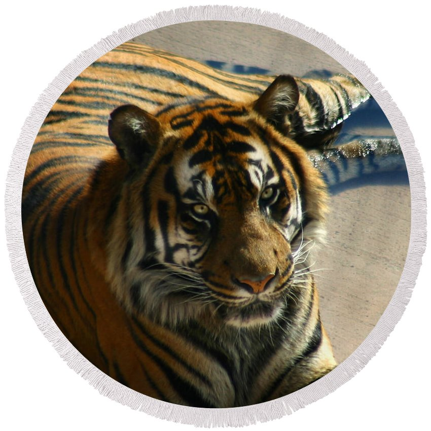Tiger Round Beach Towel featuring the photograph Sumatran Tiger by Anthony Jones
