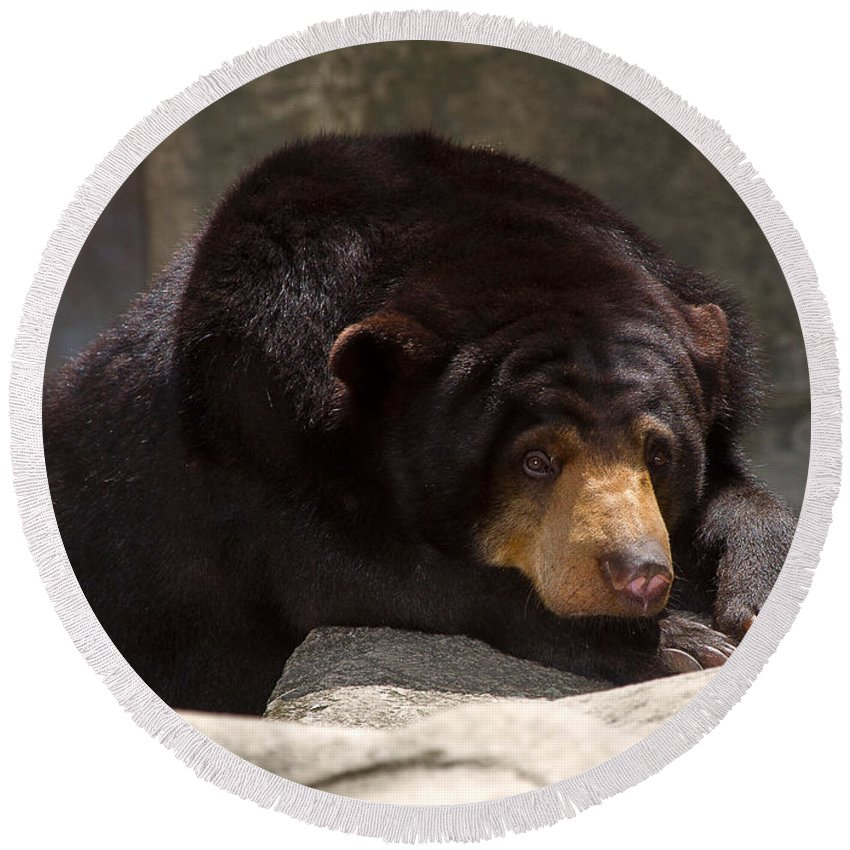 Animal Round Beach Towel featuring the photograph Sun Bear by Louise Heusinkveld