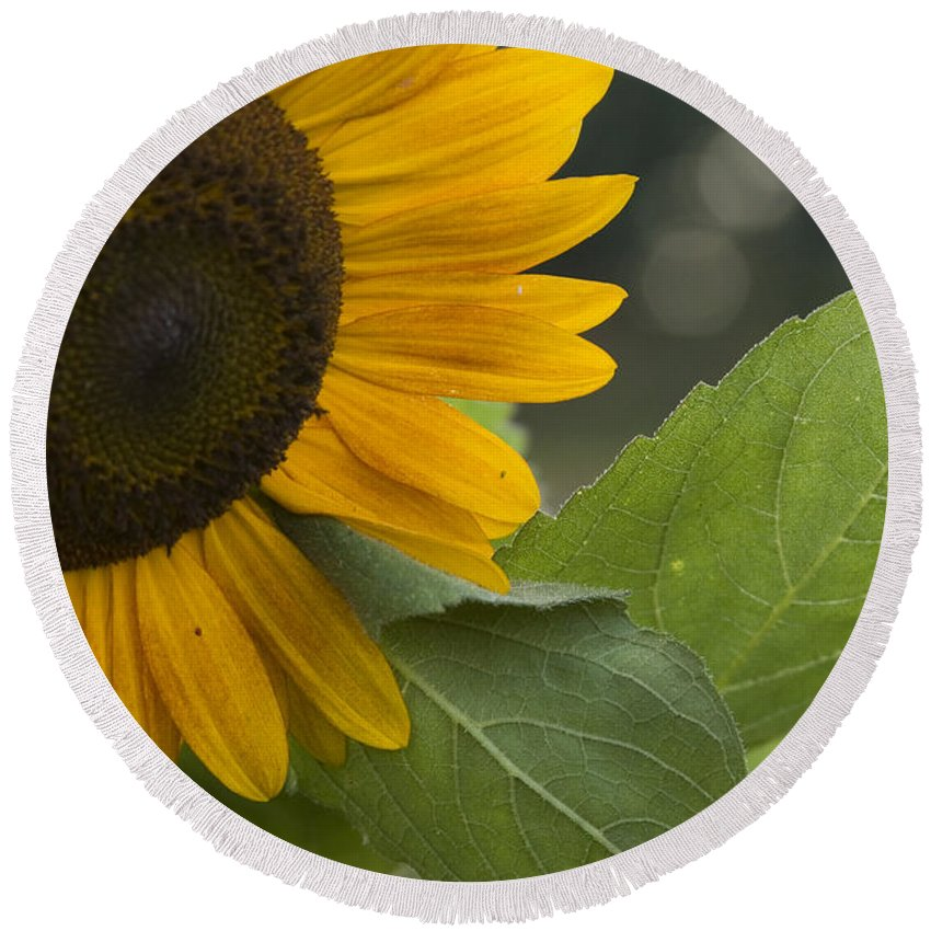 Flower Nature Farm Yellow Bright Sunflower Green Leaf Leaves Close Garden Organic Happy Round Beach Towel featuring the photograph Sunflower by Andrei Shliakhau