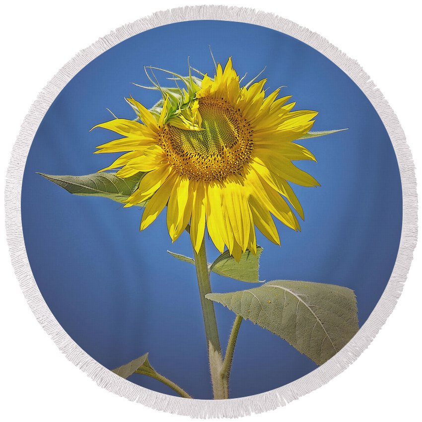 Sunflower Round Beach Towel featuring the photograph Sunflower Delight by Ann Horn