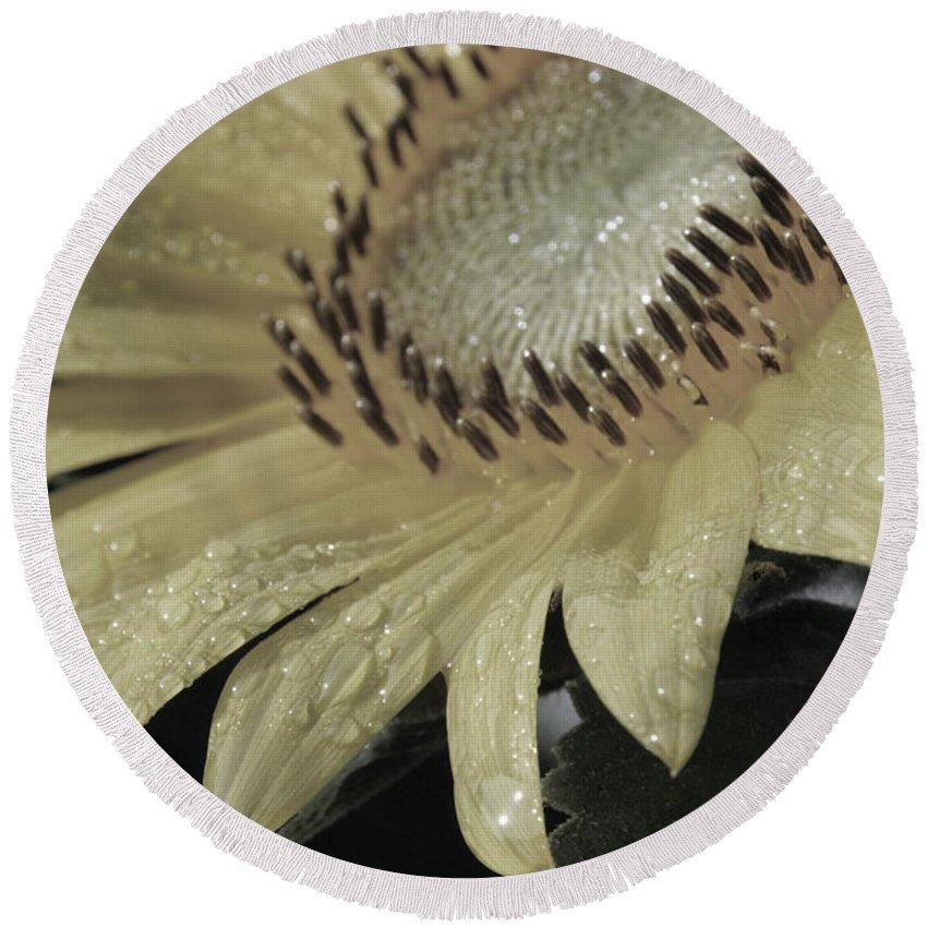 Sun Round Beach Towel featuring the photograph Sunflower Rain by Carolyn Stagger Cokley