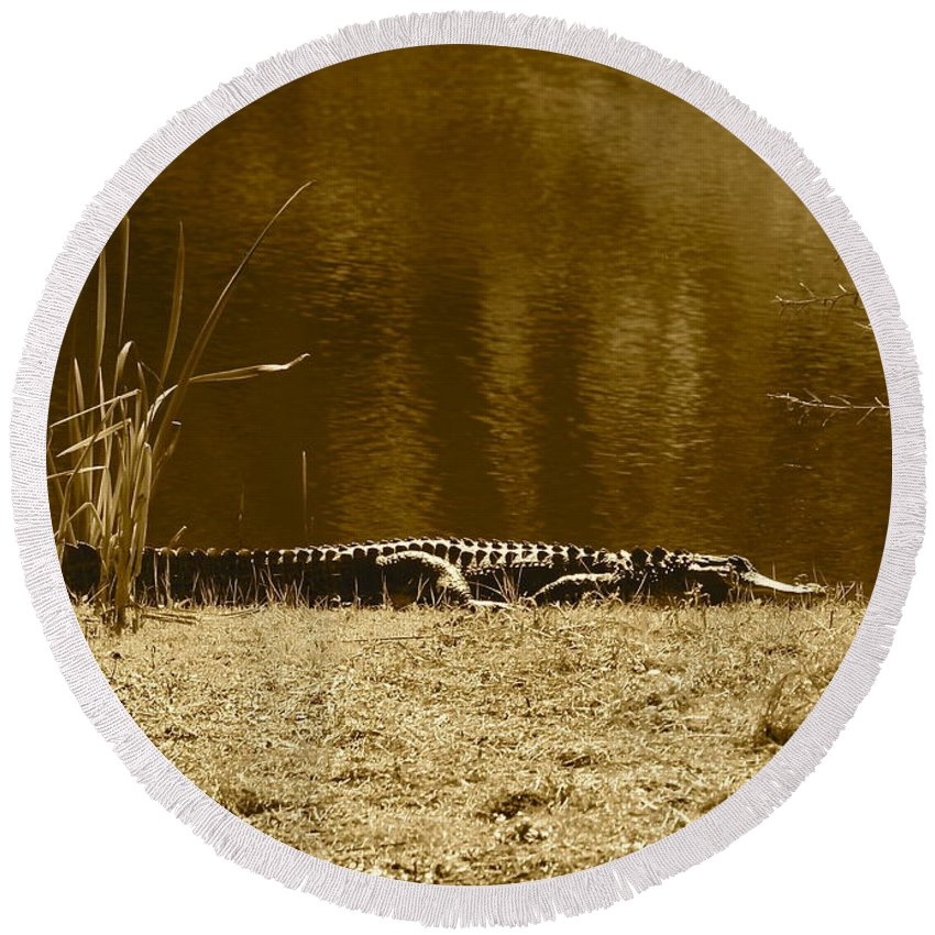 Gator Round Beach Towel featuring the photograph Sunning Gator by Carol Groenen