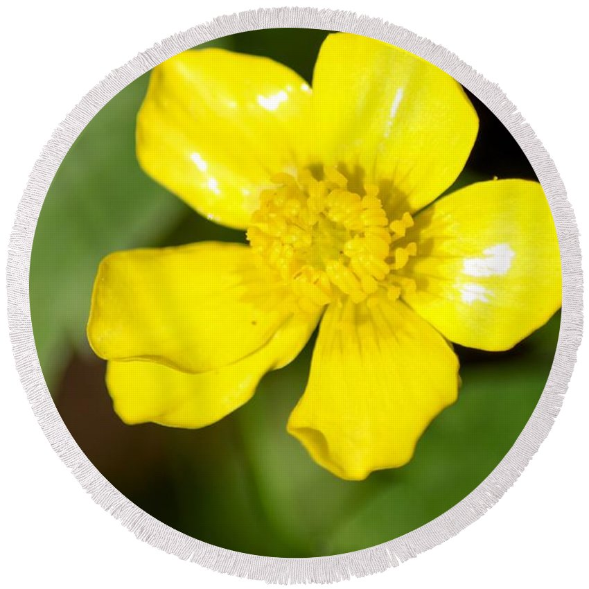 Sunny Yellow Cinquefoil Round Beach Towel featuring the photograph Sunny Yellow Cinquefoil by Cynthia Woods