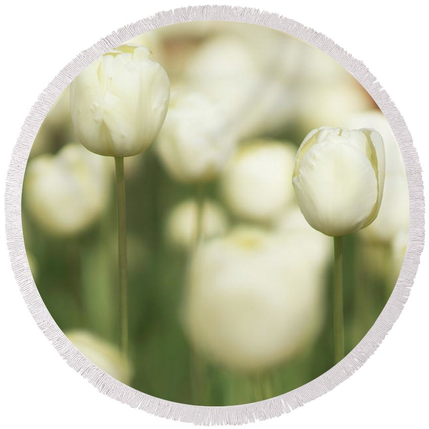 White Tulips Round Beach Towel featuring the photograph Sunsoaked Tulips #3 by Ponte Ryuurui