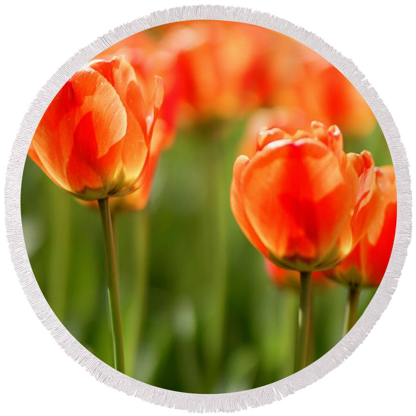 Flower Round Beach Towel featuring the photograph Sunsoaked Tulips #6 by Ponte Ryuurui