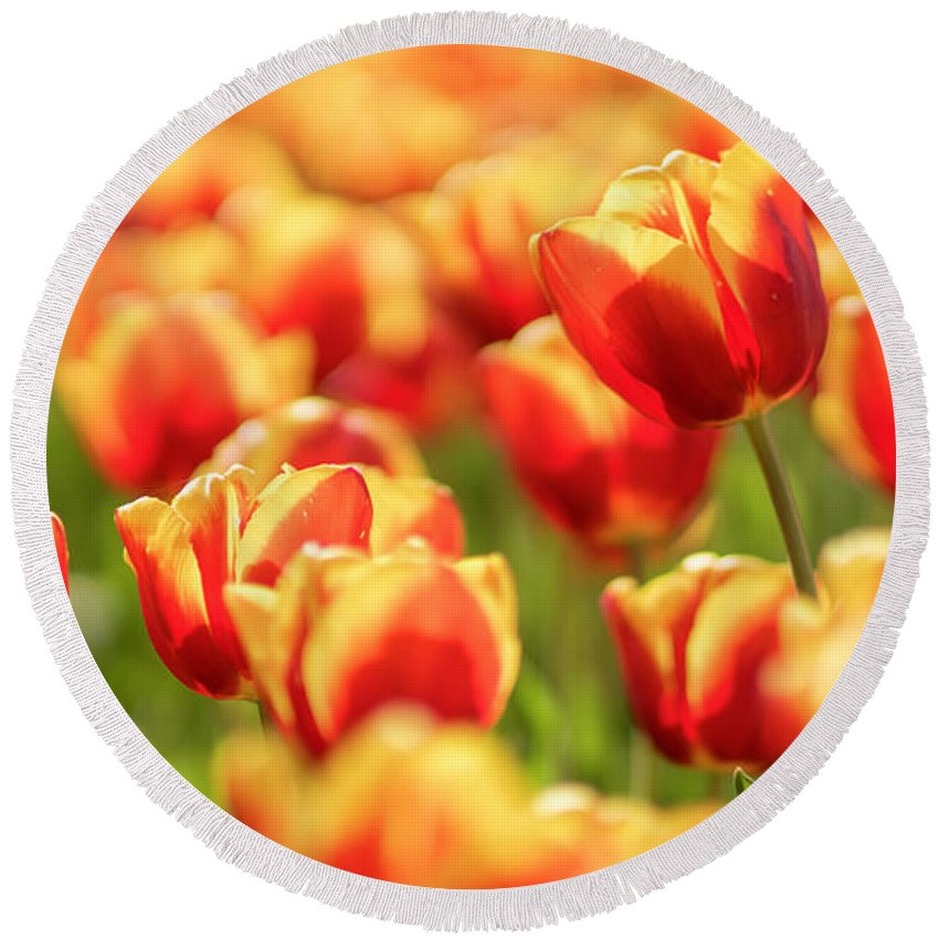 Flower Round Beach Towel featuring the photograph Sunsoaked Tulips #7 by Ponte Ryuurui