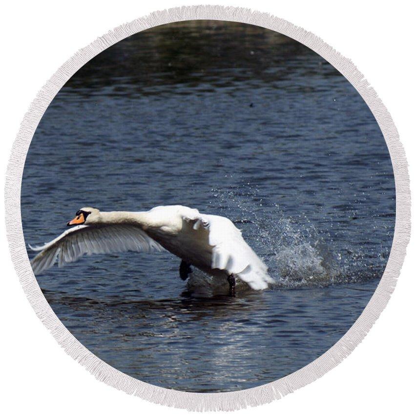 Swan Landing Round Beach Towel featuring the photograph Swan Landing 3 by Maria Keady