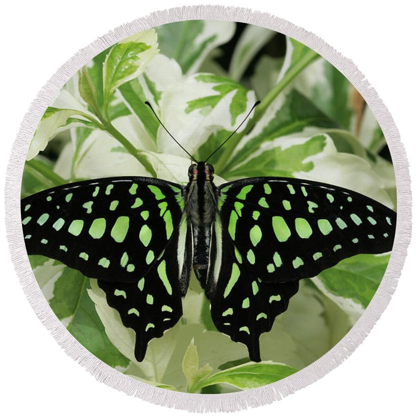 Butterfly Round Beach Towel featuring the photograph Tailed Jay Butterfly #2 by Judy Whitton