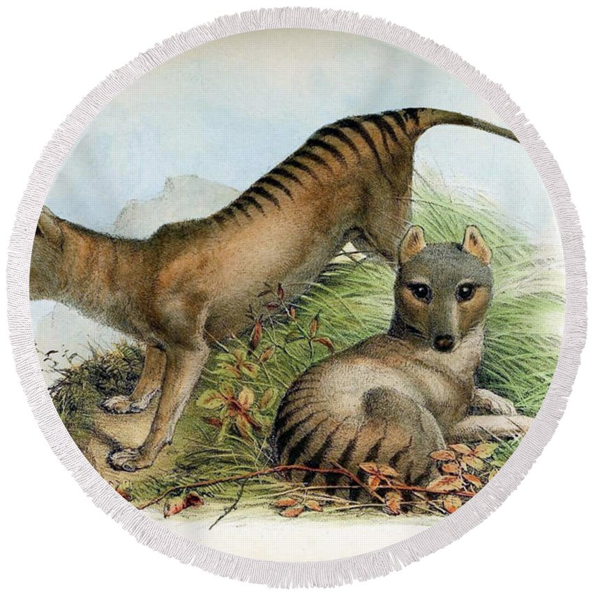 Thylacine Round Beach Towel featuring the photograph Tasmanian Tiger, Extinct Species by Biodiversity Heritage Library