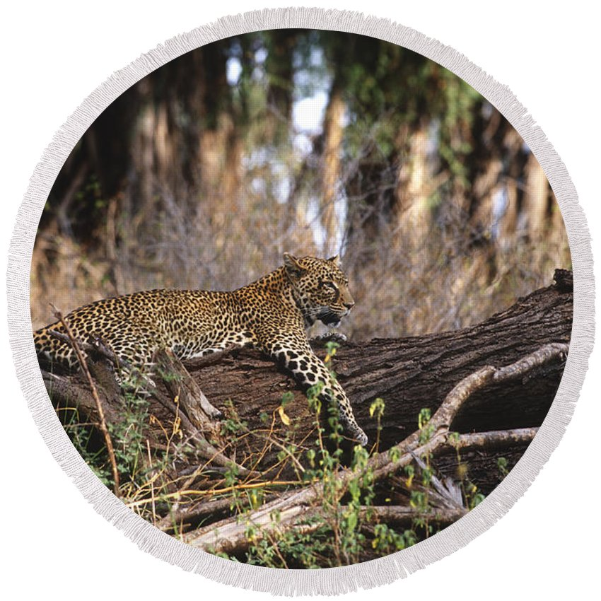 Africa Round Beach Towel featuring the photograph The Elusive Leopard by Sandra Bronstein