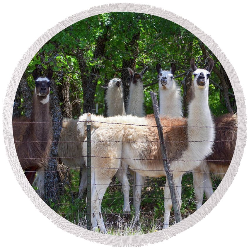 Fence Round Beach Towel featuring the photograph The Five Llamas by Soni Macy
