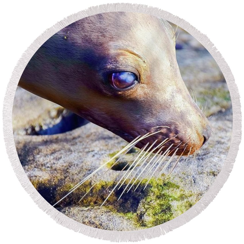 Animal Round Beach Towel featuring the photograph The Great Seal by John Youhanna
