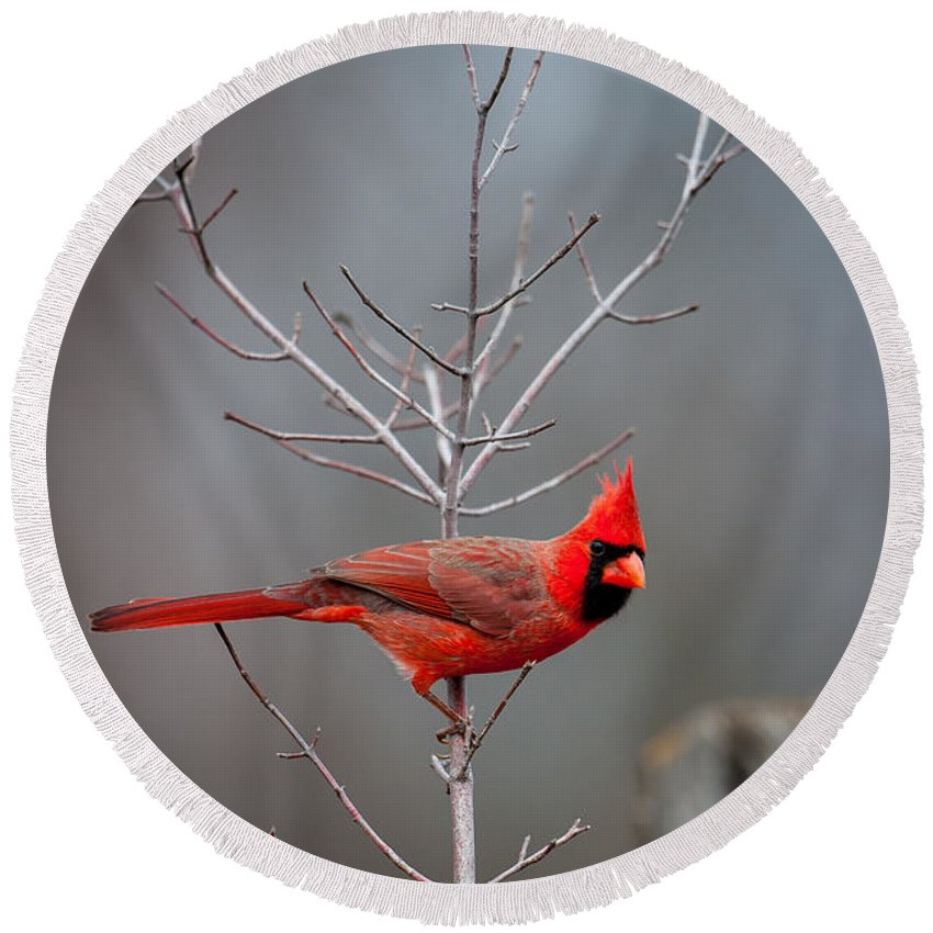Bird Round Beach Towel featuring the photograph The Inquiring Cardinal by Jeff Phillippi