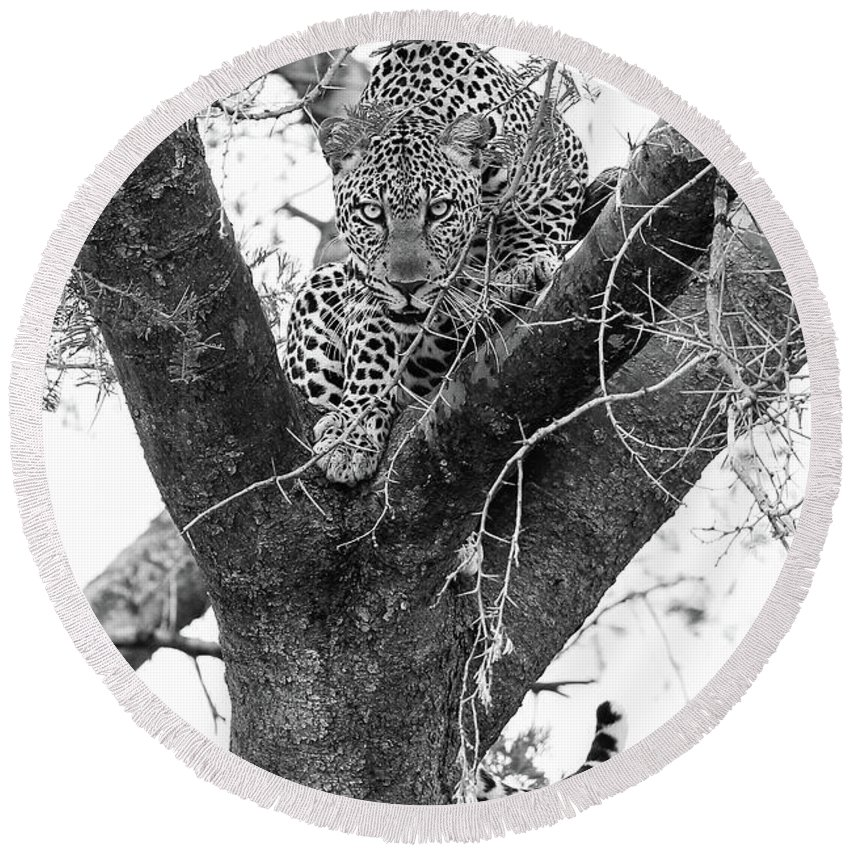 Leopard Round Beach Towel featuring the photograph The Leopard's Stare by Tom Broadhurst