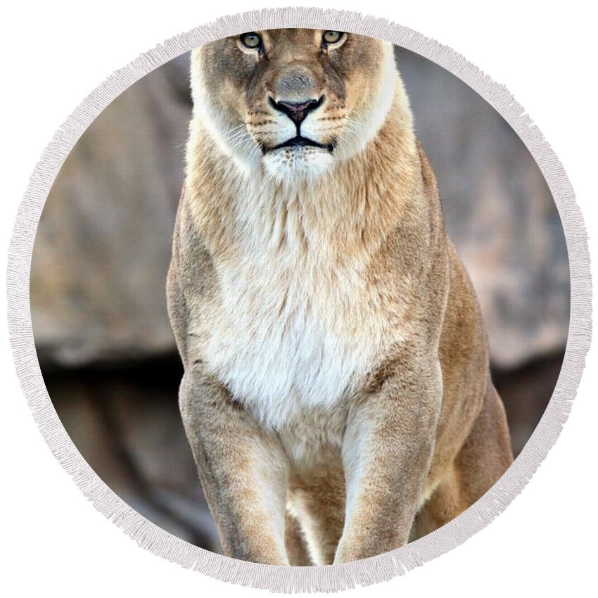 Lion Round Beach Towel featuring the photograph The Lioness by Christopher Miles Carter