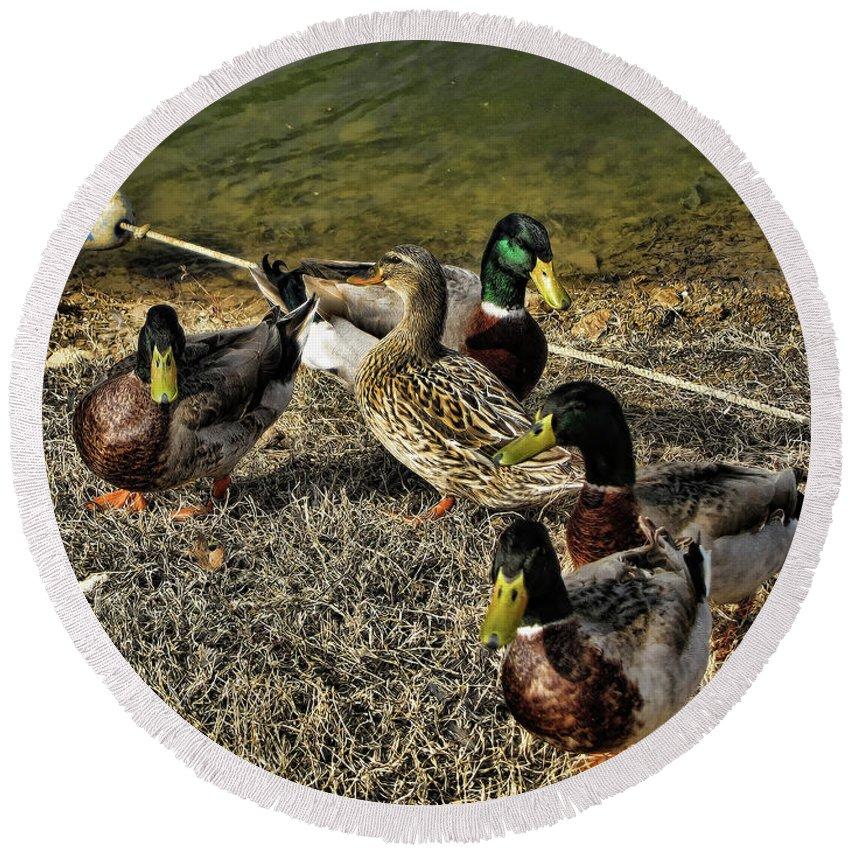 Mallard Ducks Round Beach Towel featuring the photograph The Odd One Out by Douglas Barnard