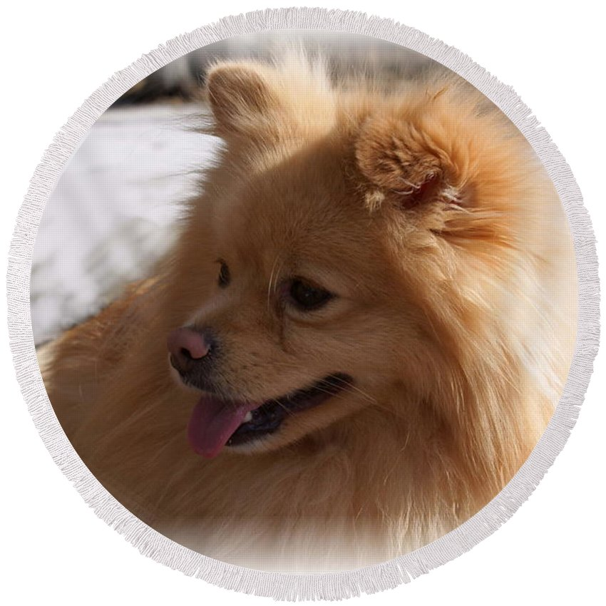 Pomeranian Dog Round Beach Towel featuring the photograph The Sun On My Back by Joanne Smoley