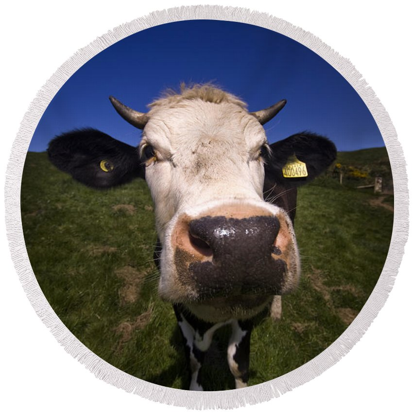 Cow Round Beach Towel featuring the photograph The Wideangled Cow by Angel Ciesniarska