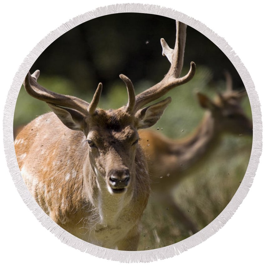 Fallow Deer Round Beach Towel featuring the photograph Those Bloody Flies by Angel Tarantella