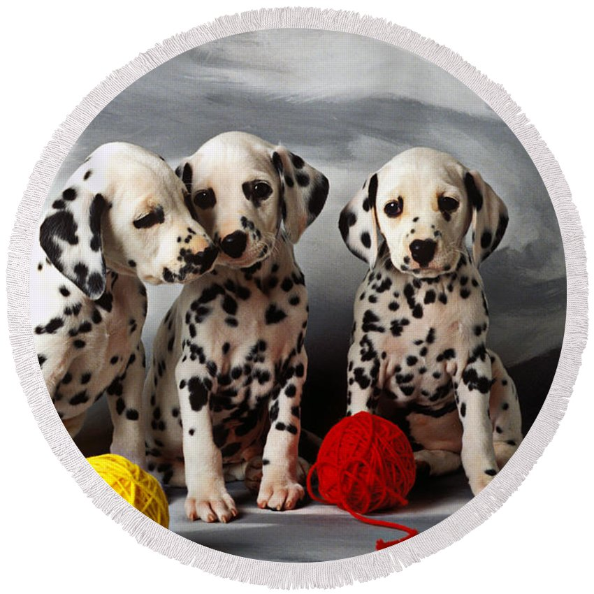 Dalmatian Puppies Three Puppy Dalmatians Pet Pets Animal Animals Dog Dogs Doggy Sit Sits Sitting Young Pedigree Canine Domestic Domesticated Purebred Purebreed Breed Gray Background Vertical Color Colour Colors Canines Calm Cute Hound Hounds Innocence Spot Spots Companionship Together Togetherness Round Beach Towel featuring the photograph Three Dalmatian puppies by Garry Gay