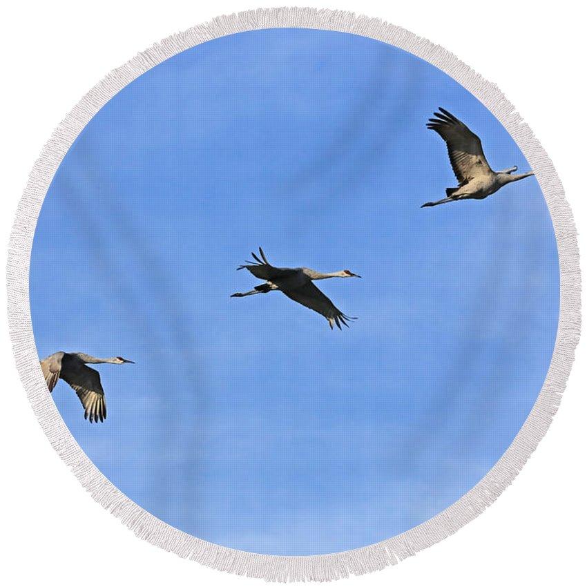 Birds In Flight Round Beach Towel featuring the photograph Three Flying Sandhill Cranes by Carol Groenen