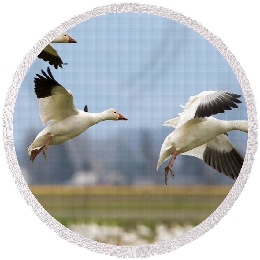 Snow Geese Round Beach Towel featuring the photograph Three Landing by Mike Dawson