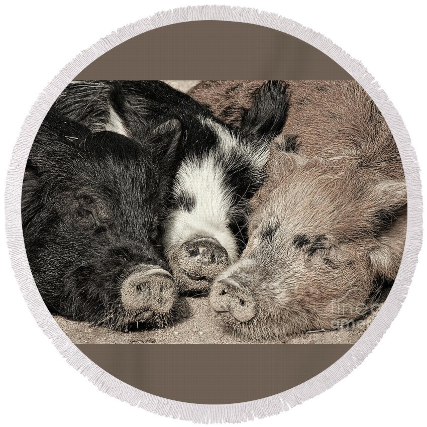 Three Round Beach Towel featuring the photograph Three Little Pigs by Linda D Lester
