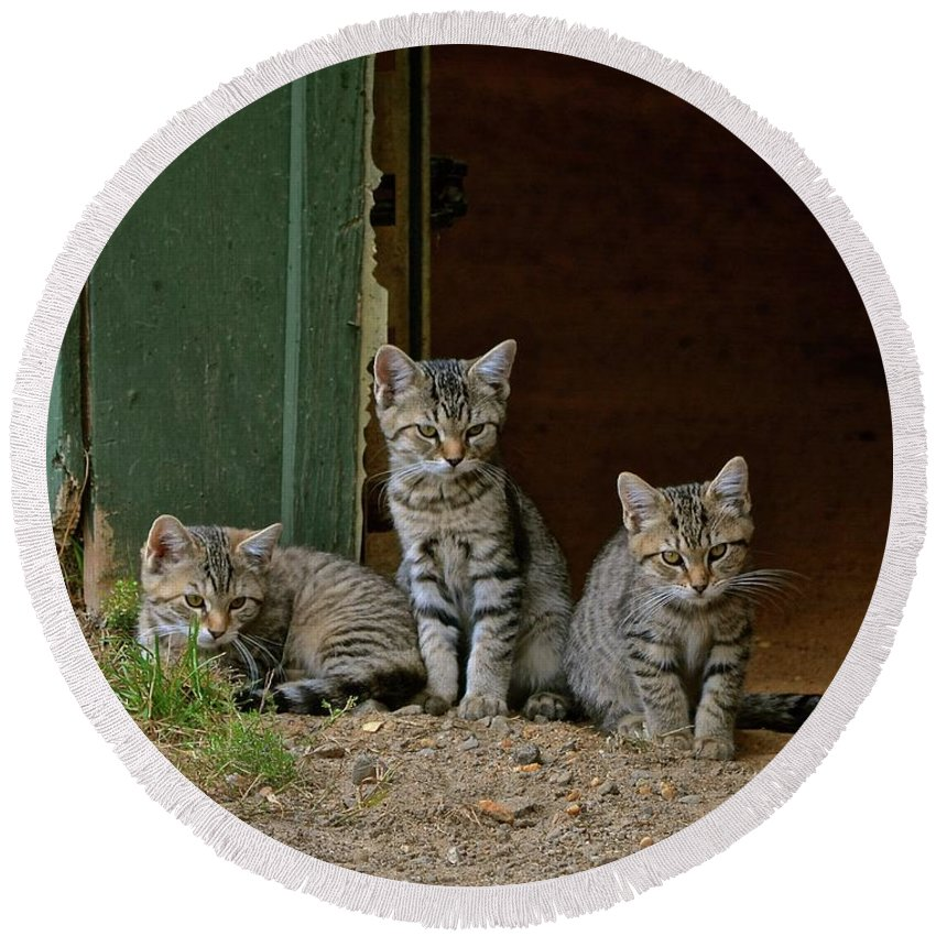 Kittens Round Beach Towel featuring the photograph Three Musketeers by Susan Ballard