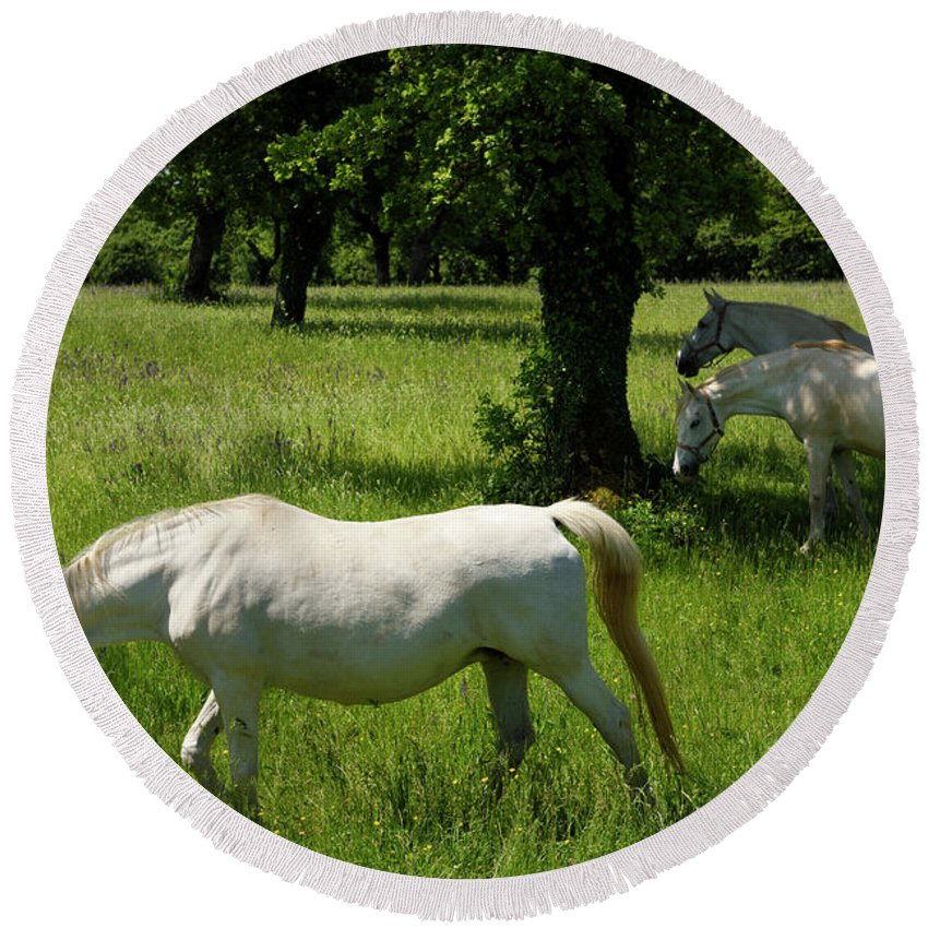 Three Round Beach Towel featuring the photograph Three White Lipizzan Horses Grazing In A Field At The Lipica Stu by Reimar Gaertner