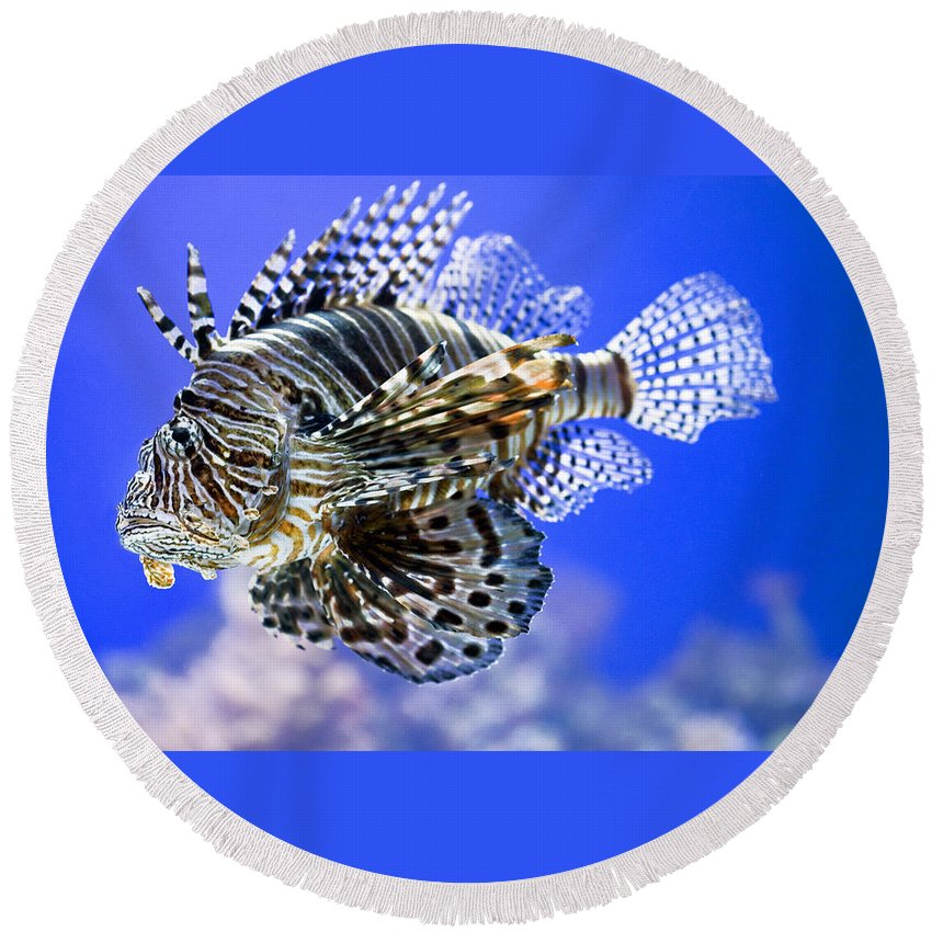 Aquarium Round Beach Towel featuring the photograph Tiger Fish by Marilyn Hunt