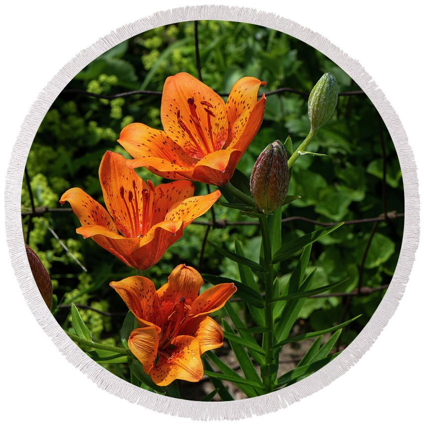 Tiger Round Beach Towel featuring the photograph Tiger Lily by Stephen Clarke