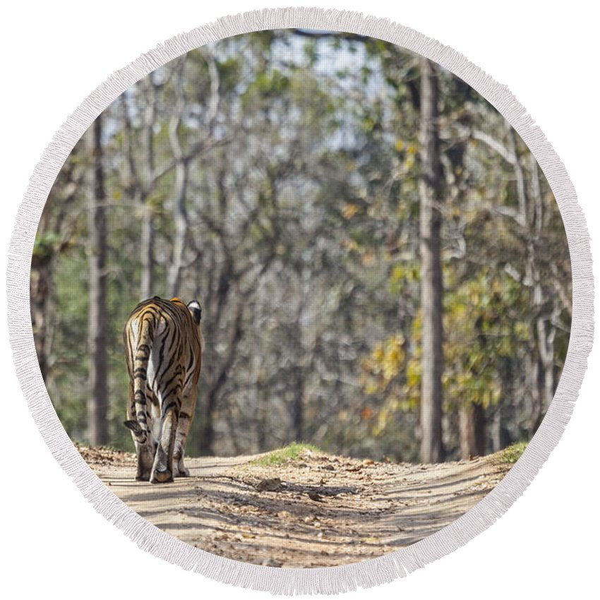 Tiger Round Beach Towel featuring the photograph Tigress Walking Along A Track In Sal Forest Pench Tiger Reserve India by Liz Leyden
