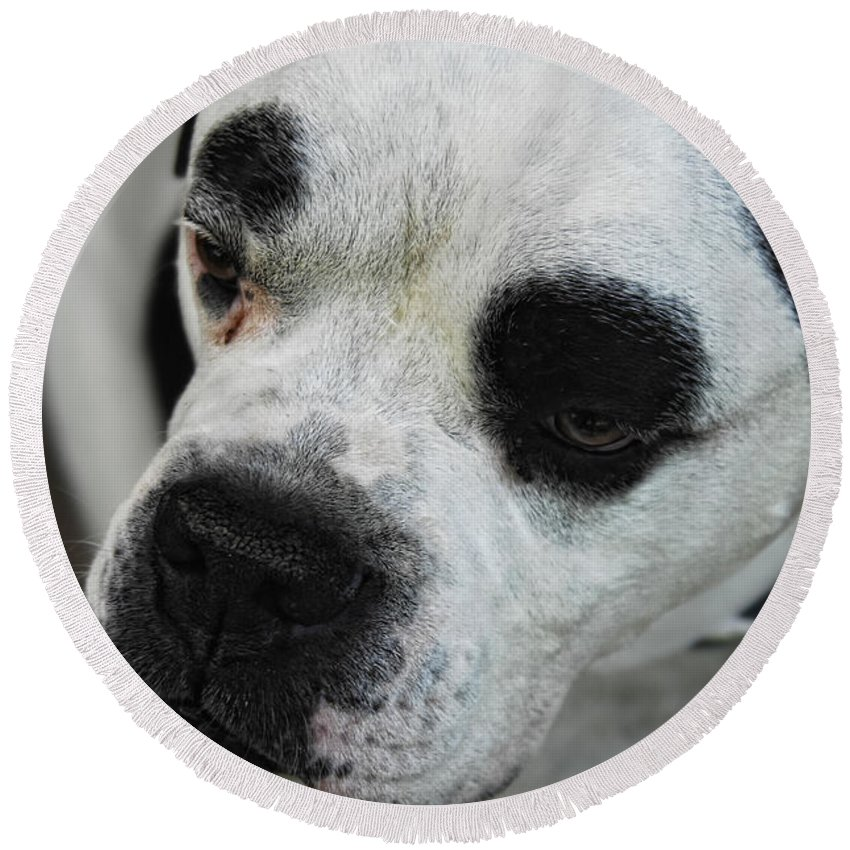 Bull Dog Round Beach Towel featuring the photograph Tough Guy by Donna Blackhall