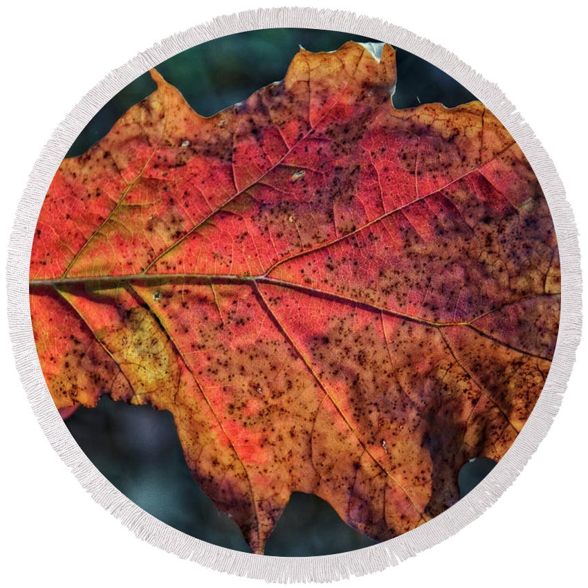 Leaf Round Beach Towel featuring the photograph Translucent Red Oak Leaf Study by Leon Winkowski