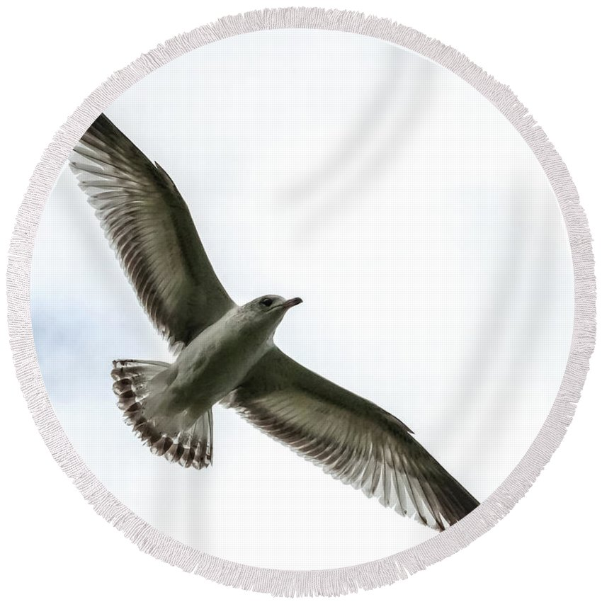 Ring-billed Gull Round Beach Towel featuring the photograph Transparency by Norman Johnson